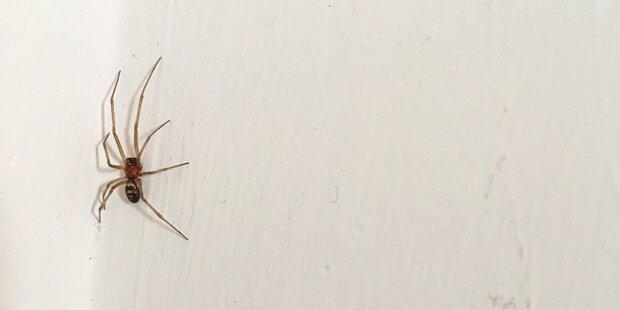 Können Spinnen wirklich aus dem Staubsauger kriechen?