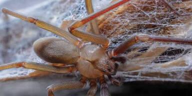 Tödliche Spinne lebt in Möbeln & lässt Haut verrotten