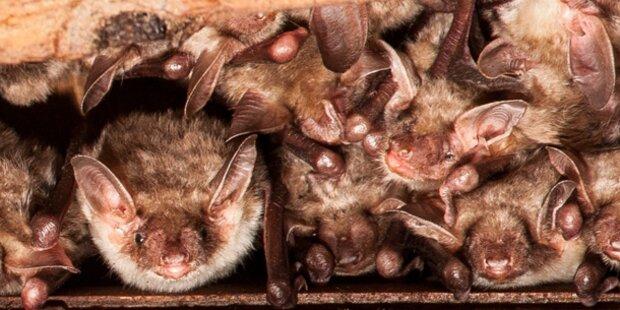 Fünfzig Fledermäuse besetzten Wohnung