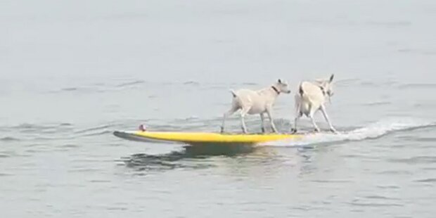 Ziegen gehen in Kalifornien Wellenreiten