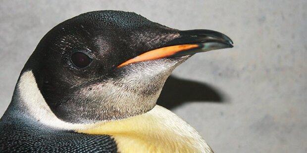 Fahndung: Pinguin gestohlen!
