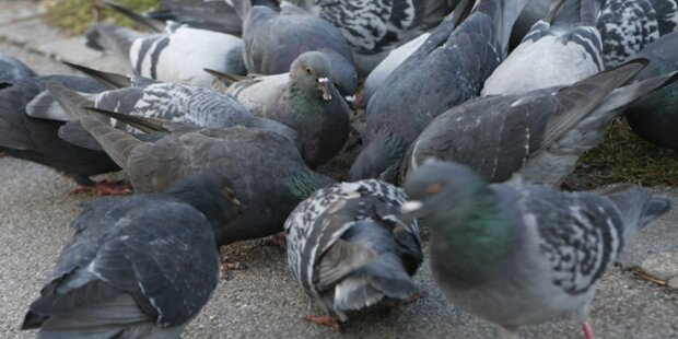 36 Euro Strafe für Tauben füttern