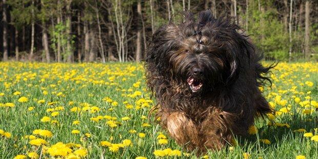 Hunde zu laut: Gericht ordnet Entfernung der Stimmbänder an