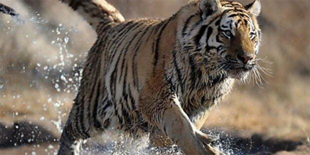 Tiger zerfleischt Busfahrer