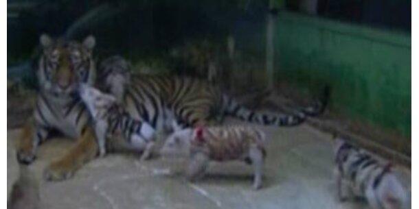 Tigerweibchen zieht kleine Ferkel groß