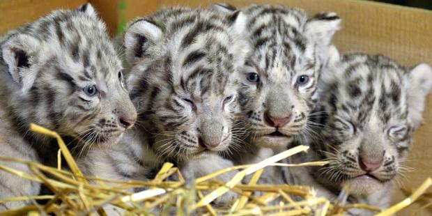 Tigerbabys Weißer Zoo