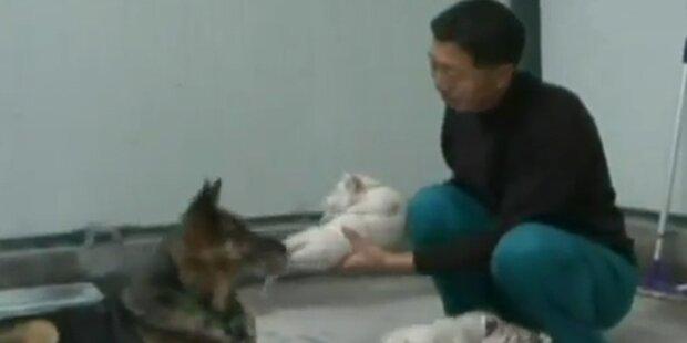 Tigerbabys nuckeln bei Hunde-Ersatz-Mama