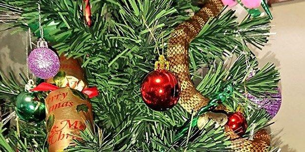 Frau entdeckte Giftschlange in Christbaum