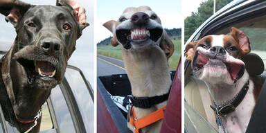 Diese Hunde lieben Autofahren!