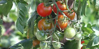 Tomaten kann man bereits ab Mitte Februar pflanzen