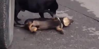 Traurig: Hund versucht toten Freund zu helfen