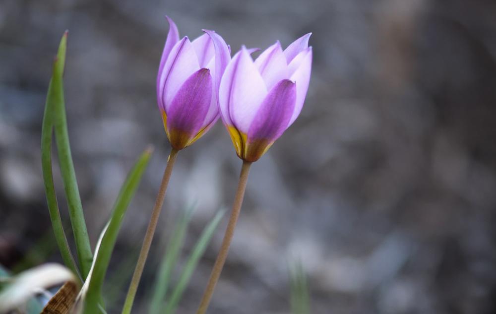 Tulipa Humilis In Violet - Garten-CH - Wildtulpen