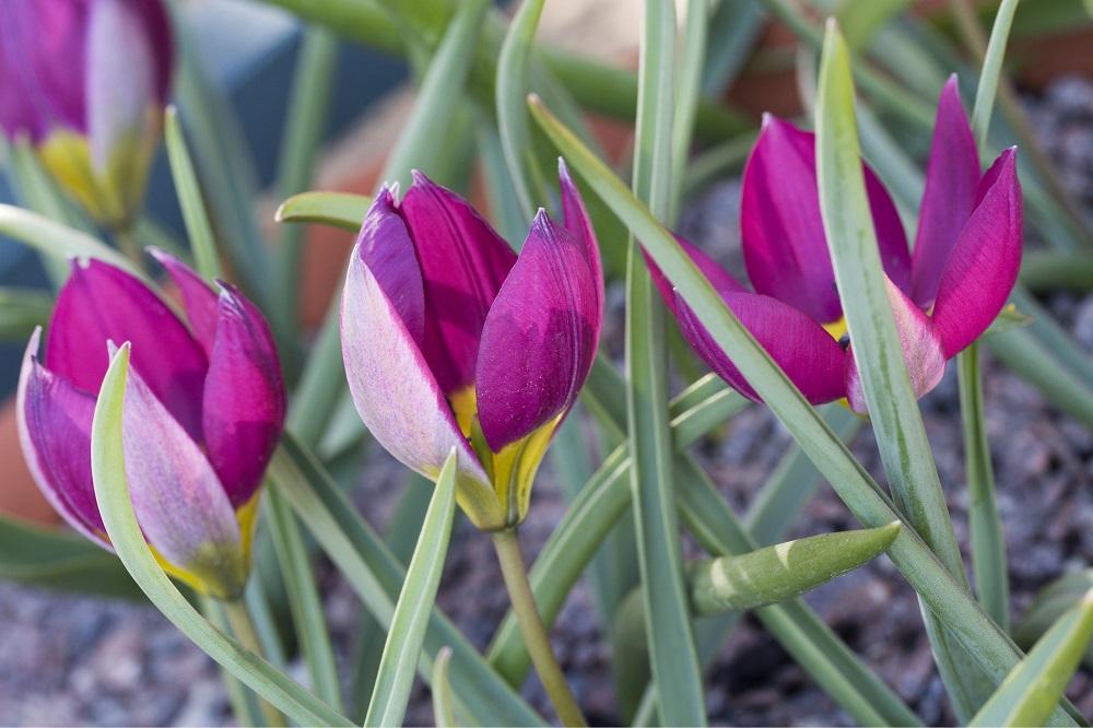 Tulipa Humilis Odalisque - Garten-CH - Wildtulpen