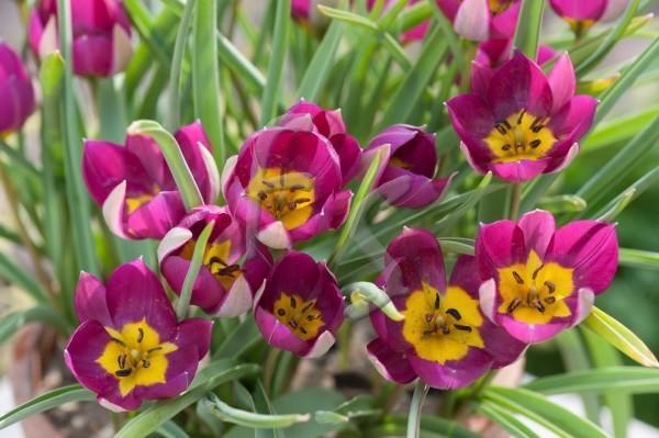 Tulipa Humilis Persian Pearl - Garten-CH - Wildtulpen