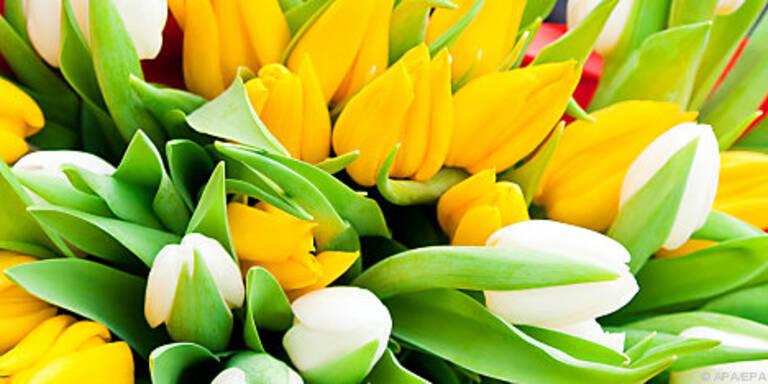 Tulpen brauchen viel Wasser