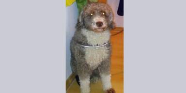 Hund Schaf