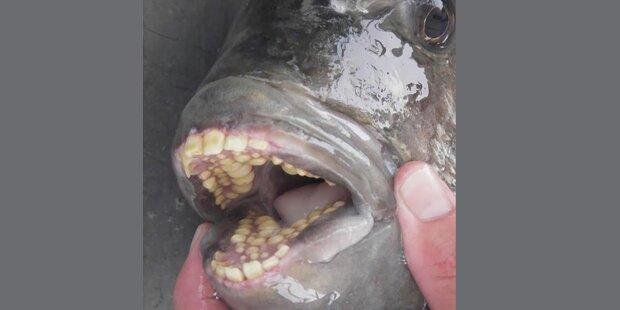 Dieser Horror-Fisch knabbert an Hoden
