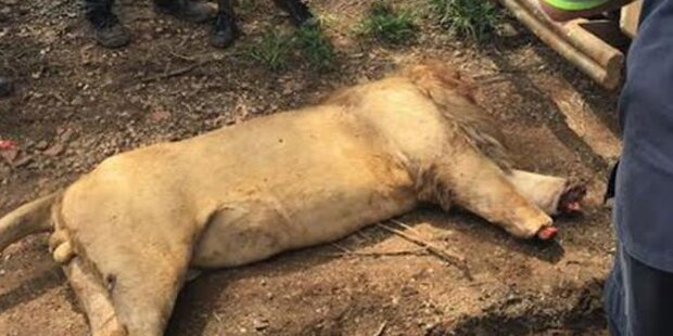 Bestialische Wilderer verstümmeln drei Löwen