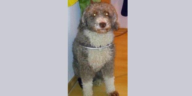Deutscher gab seinen Hund als Schaf aus