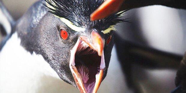 Riesige fliegende Terror-Pinguine entdeckt