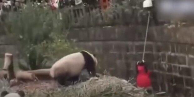Mädchen fiel in chinesisches Panda-Gehege