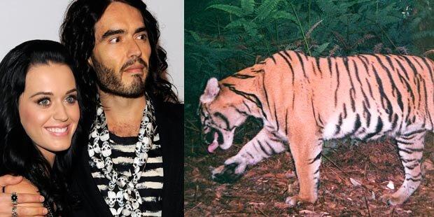 Killer-Tiger bedrohte Hochzeitsnacht