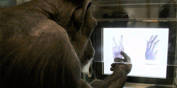 Auch Affen können 'Schere, Stein, Papier' lernen