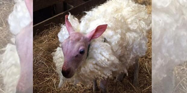 Nacktes Schaf erhielt Perücke