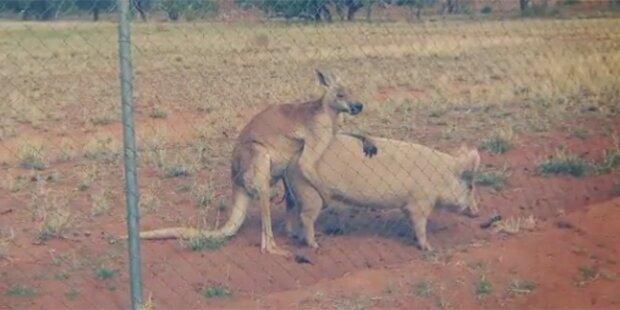 Känguru hat Sex mit Schwein