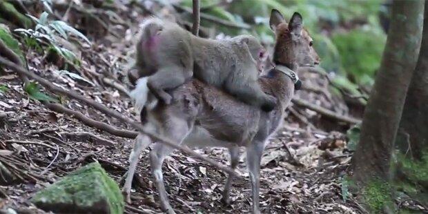 Affe hat Sex mit Hirschkuh