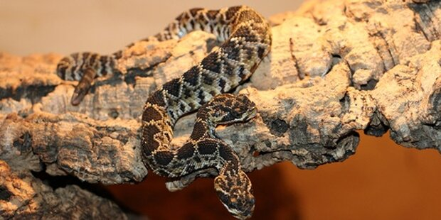 Klapperschlange mit zwei Köpfen geboren