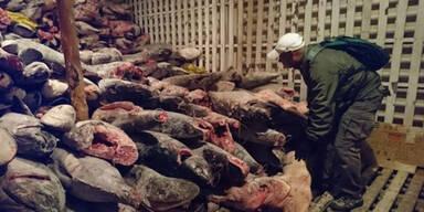 6.000 verstümmelte Haie auf Schiff gefunden