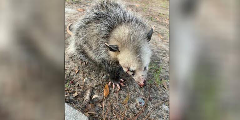 Golfer prügeln Baby-Opossum blind