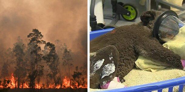 Buschfeuer Australien Tiere