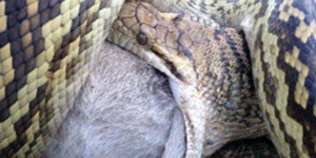 Hier frisst eine Python ein ganzes Wallaby