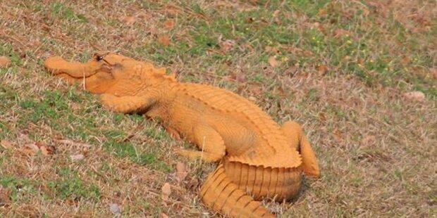 Dieser Alligator ist orange – und keiner weiß warum