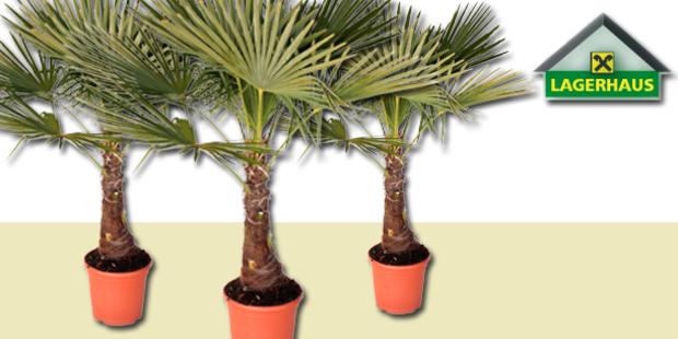 Die Pflanze des Monats - Die Hanfpalme