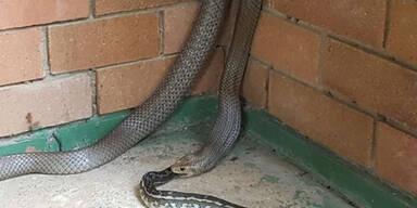 Hier isst eine Schlange eine Schlange