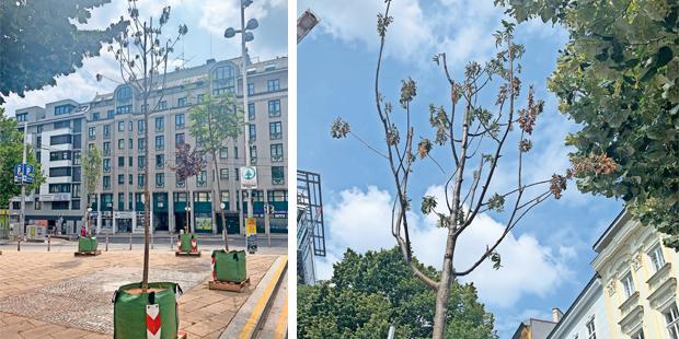 Vassilakous erster Wanderbaum ist abgestorben