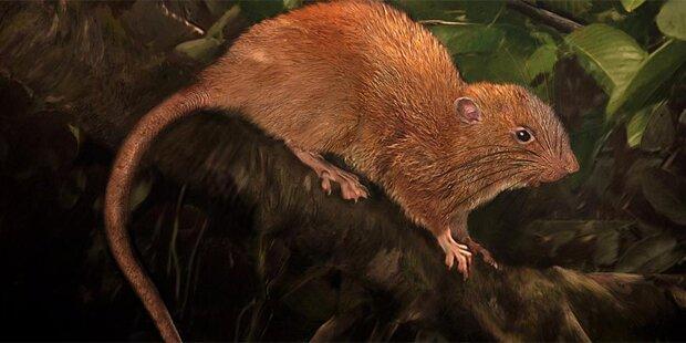 Diese Riesen-Ratte knackt sogar Kokosnüsse