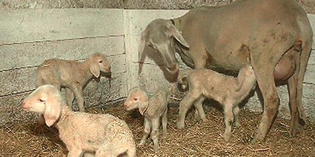 Sensation: Schaf bekam Vierlinge