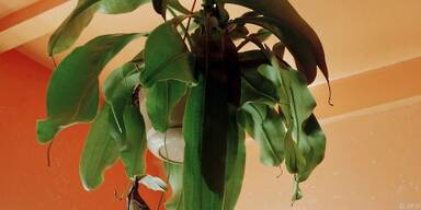 Ungeheuer dekorativ: Insektenfresser Kannenpflanze
