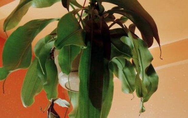 Kannenpflanze fängt mit ihren Blättern Insekten