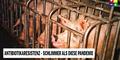 Schweinemast in Käfigboxen verursacht Antibiotika-Resistenz - Unsere Tiere oe24.TV