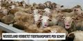 Lebentier-Transporte per Schiff in Neuseeland künftig verboten