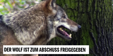 Wolf im Profil