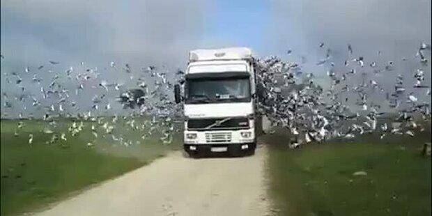 Freilassung von 1000 Tauben auf einmal