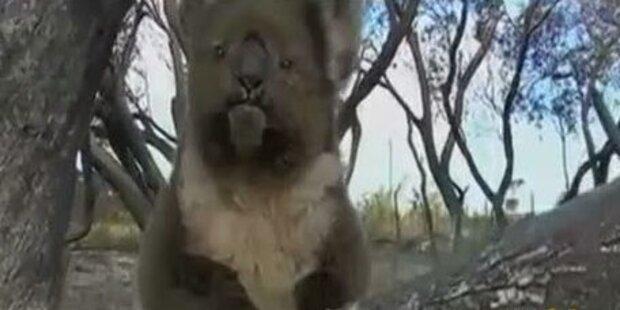 Armer Koala mitten in Buschbränden