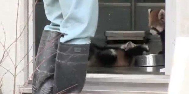 Süßer Baby-Panda kippt vor Schreck um