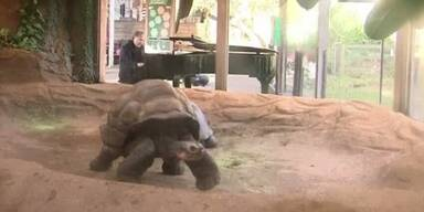 Pianist soll Schildkröten in Sexstimmung bringen